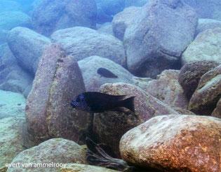 Tetrochromis sp. Texas
