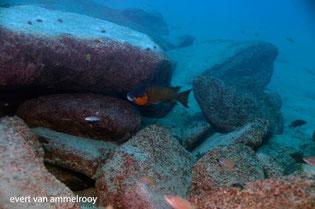 Petrochromis