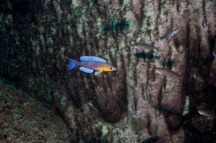 Cyprichromis, Cyprichromis leptosoma, Cyprichromis leptosoma Kigoma