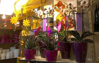 Zimmerpflanze Topfpflanze