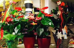Topfpflanzen Zimmerpflanzen Anthurie Flamigoblume