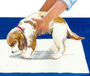 cucciolo che viene posizionato sopra la traversina per fare la pipì