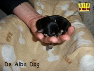 Foto perro raza chihuahua hembra pelo corto negro-fuego, propiedad de los criadores de chihuahuas De Alba Dog en Valencia (España), venta de chihuahuas; cachorros de chihuahua de pelo corto y largo con afijo y pedigree