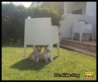 Chihuahuas hembra y macho de pelo corto del criadero de perros de raza chihuahua De Alba Dog en Valencia; criadores y venta de cachorros chihuahua de pelo corto y largo en Valencia, Comunidad Valenciana, España