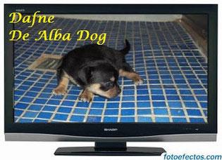 Foto cachorro de perro raza chihuahua hembra, de pelo corto y color negro-fuego, propiedad de los criadores de chihuahuas con afijo De Alba Dog en Valencia (España), venta de chihuahuas; cachorros chihuahua de pelo corto y largo con pedigree