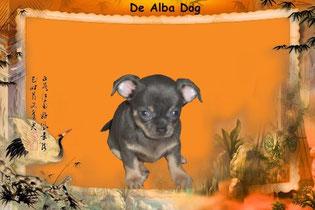 Foto cachorro de perro, raza chihuahua hembra, pelo corto, color azul, propiedad de los criadores de chihuahuas con afijo De Alba Dog en Valencia (España), venta de chihuahuas; cachorros de pelo corto y largo con pedigree