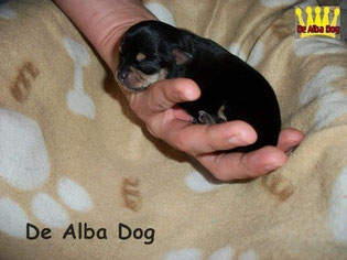 Foto perro raza chihuahua hembra de pelo corto de color negro-fuego, propiedad de los criadores de chihuahuas De Alba Dog en Valencia (España), venta de chihuahuas; cachorros de chihuahua de pelo corto y largo con afijo y pedigree
