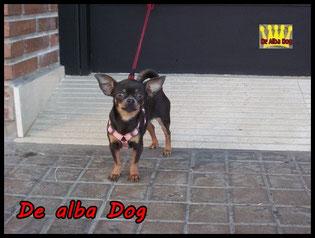 Foto de perro raza chihuahua hembra, pelo corto, color azul, propiedad de los criadores de chihuahuas con afijo De Alba Dog en Valencia (España), venta de chihuahuas; cachorros chihuahua de pelo corto y largo con pedigree