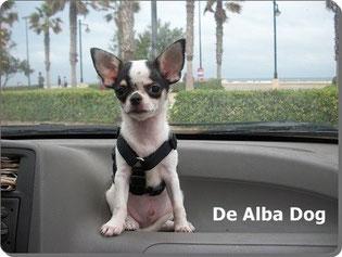 Criadores de chihuahua  De Alba Dog. Foto de perro cachorro de raza chihuahua, sexo macho, de pelo corto, de color blanco y negro. Venta de perros chihuahua de pelo corto y largo. Criadores de chihuahua en España. Raza chihuahua. Chihuahueño pelo corto.