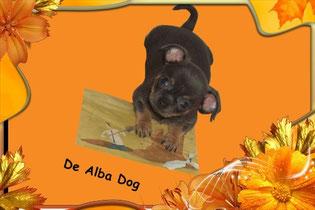 Foto de perro raza chihuahua, cachorro hembra, pelo corto, color azul, propiedad de los criadores de chihuahuas con afijo De Alba Dog en Valencia (España), venta de chihuahuas; cachorros chihuahua de pelo corto y largo con pedigree