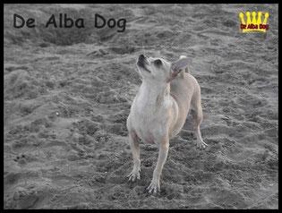 Foto chihuahua hembra adulta pelo corto de los criadores de chihuahua De Alba Dog en Valencia (España). Venta de chihuahuas: cachorros de chihuahua de pelo corto y largo.
