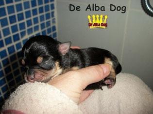 Foto perro raza chihuahua hembra pelo corto de color negro-fuego, propiedad de los criadores de chihuahuas De Alba Dog en Valencia (España), venta de chihuahuas; cachorros chihuahua de pelo corto y largo con afijo y pedigree