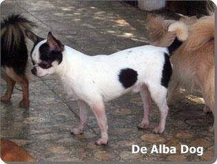 De Alba Dog. Foto de perro de raza chihuahua, sexo macho, de pelo corto, de color blanco y negro. Venta de perros chihuahua de pelo corto y largo. Criadores de chihuahua en España. Raza chihuahua. Chihuahueño pelo corto.