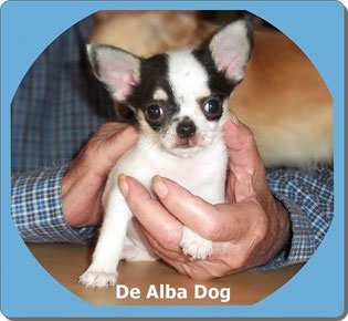 Criadores de chihuahua  De Alba Dog. Foto de perro cachorro de raza chihuahua, sexo macho, de pelo corto, de color blanco y negro. Venta de perros chihuahua de pelo corto y largo.Criadores de chihuahua en España. Raza chihuahua. Chihuahueño pelo corto.