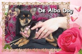 Foto perro de raza chihuahua hembra pelo corto y de color negro-fuego, propiedad de los criadores de chihuahuas De Alba Dog en Valencia (España), venta de chihuahuas; cachorros de chihuahua de pelo corto y largo con afijo y pedigree