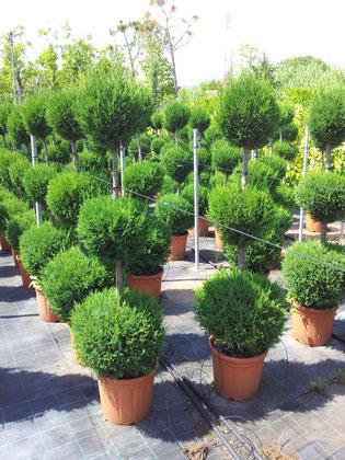 Ziergehölz Baumschule Gartengestaltung Rübner