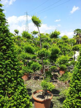 Formgehölze Baumschule Gartengestaltung Rübner