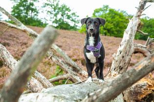 Hund auf einem Baumstamm beim Spaziergang