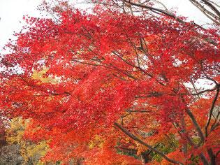 きれいな紅葉です