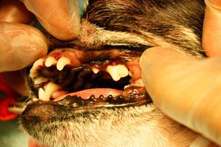 処置後。白い歯が出てきました。