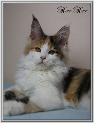 Maine Coon Katze black torbie white
