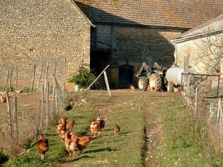 Poulets en élévage libre dans nos prés autour de la ferme Garrigou