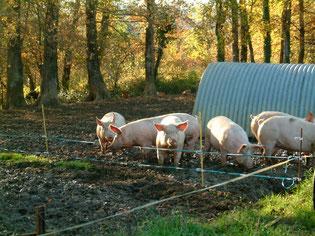 La ferme Garrigou élève aussi des cochons
