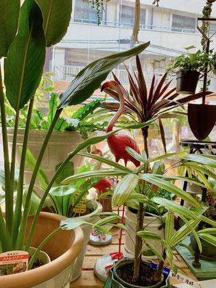 ガーデニングショップ かのはの ガーデンマスコットのフラミンゴ 植物がより生き生きと見えます ストレチア 観音竹 ドラセナ アイビー  アスプレニウム