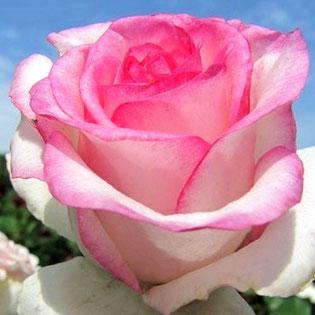 саженцы розы Белла Вита в Клину