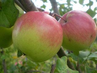 купить в Клину яблони