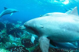 御蔵島のドルフィンスイムで会ったイルカ