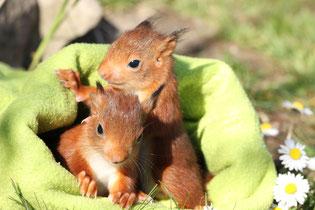 Baby Eichhörnchen squirrel