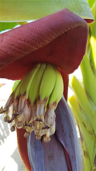 Banane am CAS IGUANA - Urlaub auf Curacao