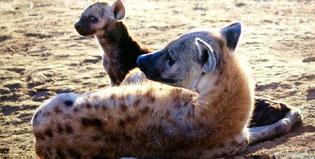 Tüpfelhyäne mit Baby im Krüger Nationalpark