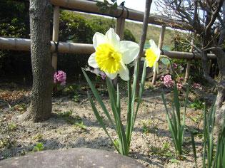 こちらは水仙です。水仙は庭の至る所に咲いています。