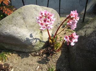 この花も庭の至る所に咲いてるのですが、何の花か分かりません。知っている方いらっしゃいませんか?笑