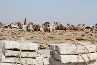 караваны верблюдов перевозят соль в Эфиопии