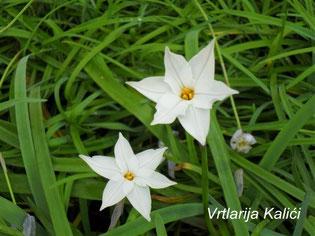 "Ipheion uniflorum ""White star"""