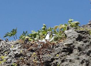 エリグロアジサシの営巣地(久米島某所)