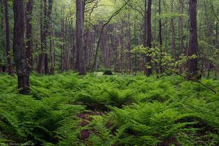 Regenwetter ist das perfekte Wetter um in Rügens Wäldern zu fotografieren.