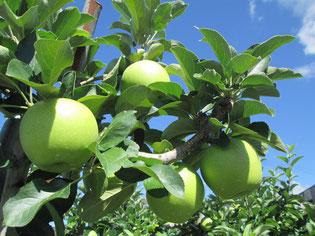 今井農園のリンゴ、大きくなりました。