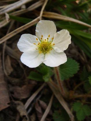 シロバナヘビイチゴ (白花蛇苺) バラ科