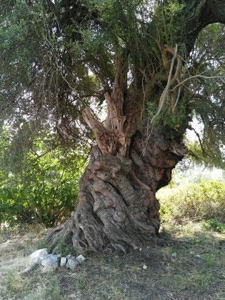 Alter Olivenbaum auf Zakynthos