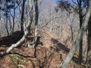 中峠のブナ林