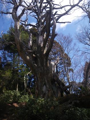標高800M付近、枯れた芦生杉のオブジェ