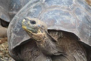 les tortues du Centre Darwin