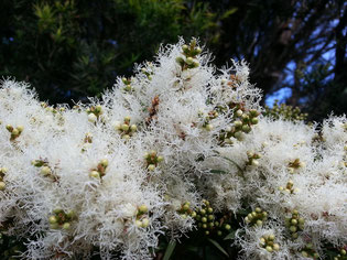 Melaleuca alternifolia by Alpha via Flickr