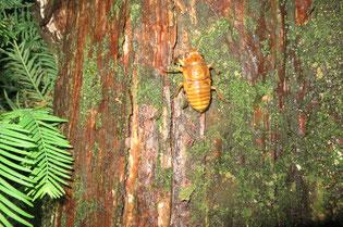 木の幹を登るアブラゼミの幼虫