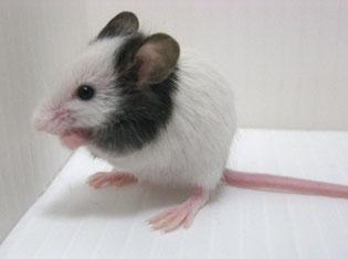"""画像はマウスにちなんで""""カラーマウス・パンダマウス・小動物・生体販売店「ぷちまる。」""""様のページより無断拝借しました。 http://puchianimal.blog99.fc2.com/blog-entry-65.html"""