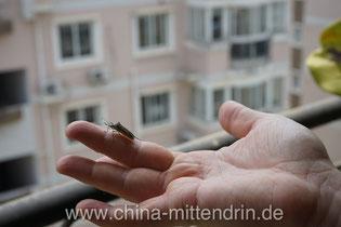 Achtung! Vorsicht! Wer in China Tiere anfasst, bekommt meist einen lauten Warnschrei zu hören. Dass viele Insekten harmlose und nette Tiere sind, will niemand hören.
